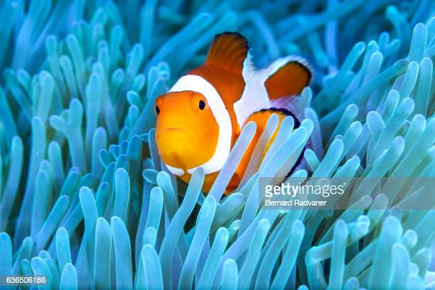 Clownfish in its blue anemone