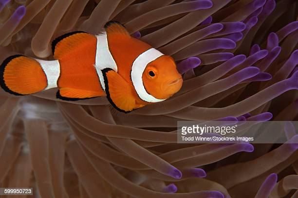 Clownfish in purple tip anemone, Australia.