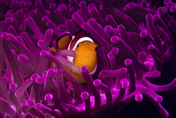 Clownfish in the purple world