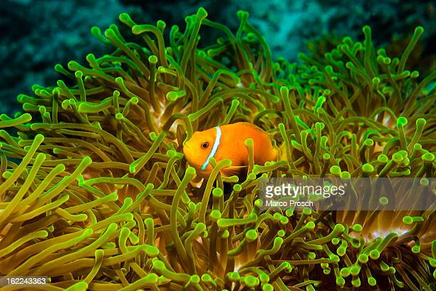 A clownfish is pictured underwater near Athuruga island on May 25 2012 in Athuruga Maldives The Republic of the Maldives consists of 1192 islands and...
