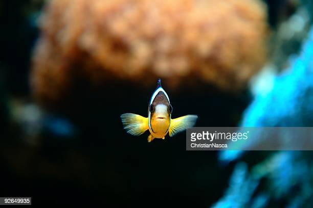 clownfish nemo - orange fin clownfish stock photos and pictures