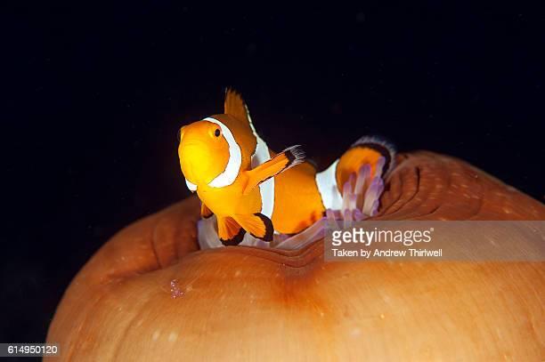 Clownfish on anemone