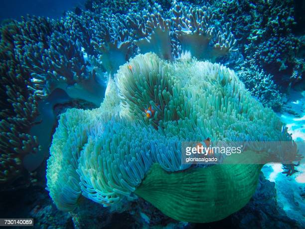 Clownfish on coral reef, Bali, Indonesia