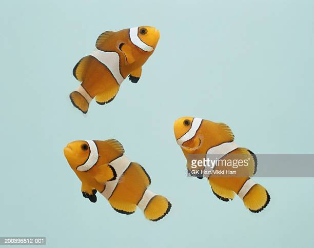 clownfish on gray background - damselfish stock photos and pictures