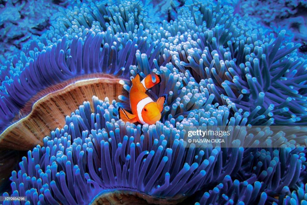 Clownfish : Stock-Foto