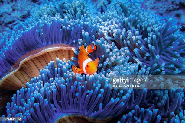 clownfish - one animal stock pictures, royalty-free photos & images