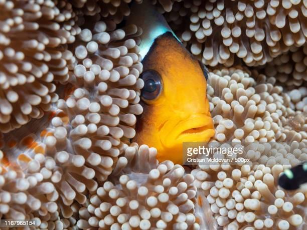 clownfish - comores photos et images de collection