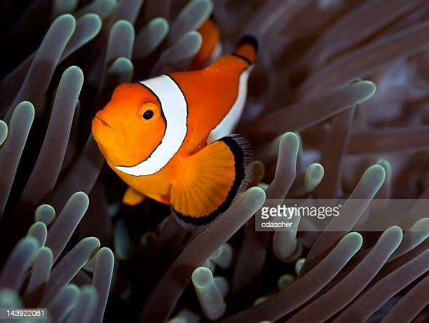 clownfish - cdascher stock pictures, royalty-free photos & images