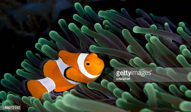 clownfish - raja ampat islands stock photos and pictures