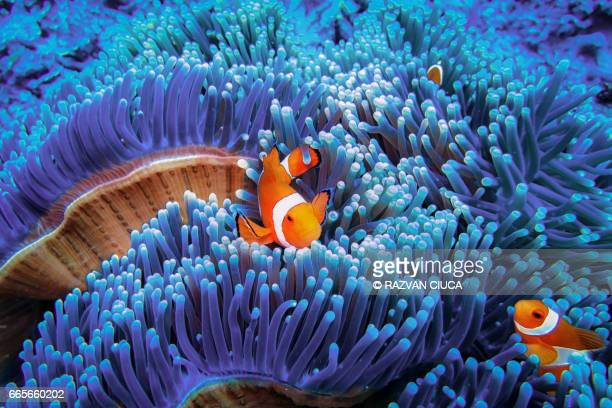 clownfish - reef stock pictures, royalty-free photos & images