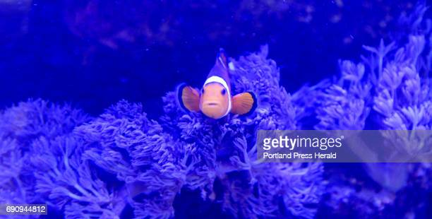 A clownfish swims in a 360lb salt water tank at Yellowfin's Restaurant in Ocean Park Wednesday May 24 2017