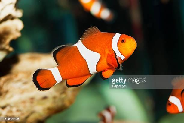 Clownfish XXL