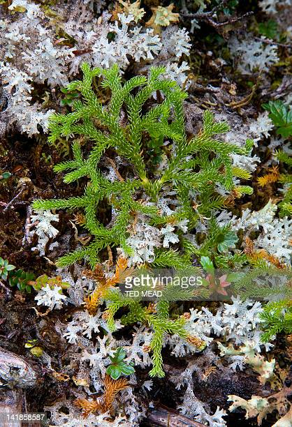 Club Moss ( Lycopodium spp ) and Lichen in the Western Arthur Range in the Southwest National Park, Tasmania, Australia.