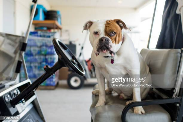 A clubhouse dog named Homer sits in a golf cart before a game between the Boston Red Sox and the Tampa Bay Rays at JetBlue Park at Fenway South on...