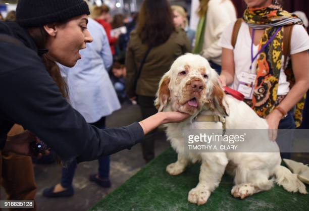 A Clumber Spaniel dog is seen during the 9th AKC Meet The Breeds on February 10 2018 in New York at the 142th Annual Westminster Kennel Club Dog Show...