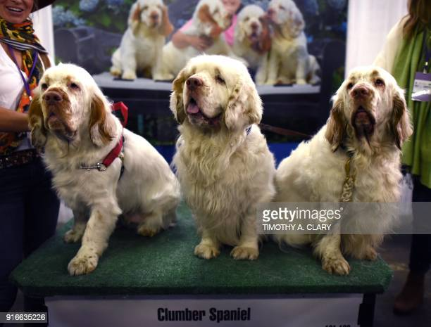 Clumber Spaniel dogs are seen during the 9th AKC Meet The Breeds on February 10 2018 in New York at the 142th Annual Westminster Kennel Club Dog Show...