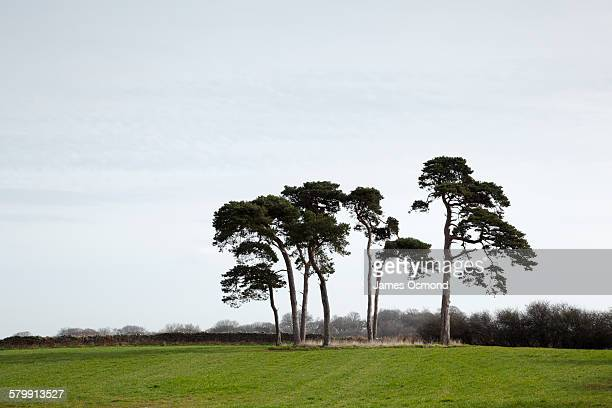 Clump of pine trees