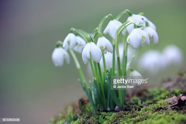 a clump of snowdrops - snowdrop stock pictures, royalty-free photos & images