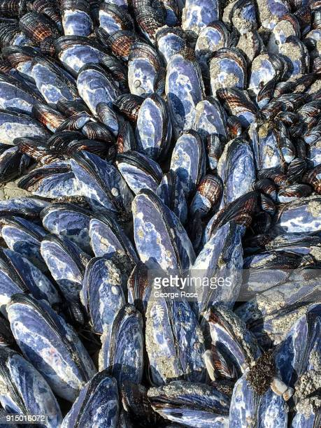 A cluster of blue mussels are exposed to the air at low tide on January 31 at Gaviota State Beach California Because of its close proximity to...