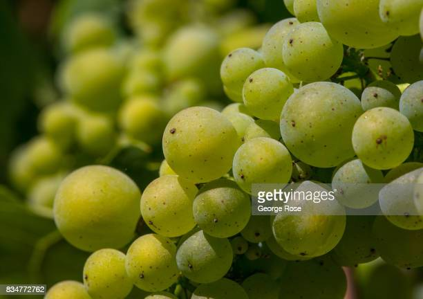 A cluster of chardonnay ripens in a BohanDillon Road ridgetop vineyard on August 1 near Fort Ross California Following a record winter rainfall on...