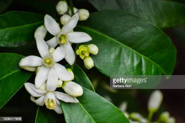 cluster of citrus blossoms on orange tree - orange blossom stock photos and pictures