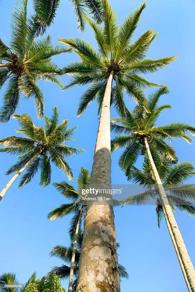 A cluster of coconut Palm Trees : Stock Photo