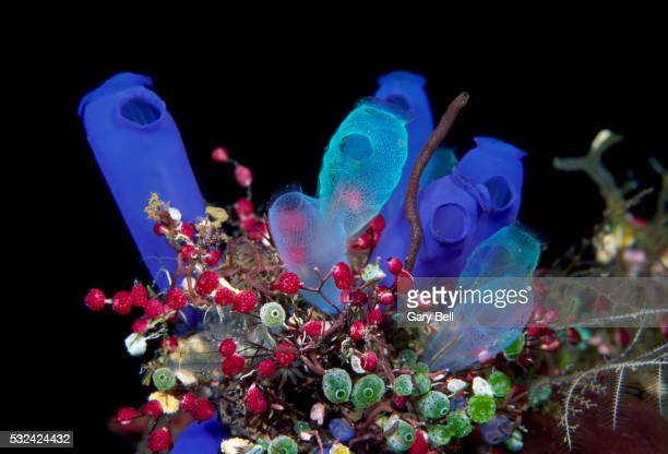 cluster of colourful sea tunicates - sea squirt stock pictures, royalty-free photos & images
