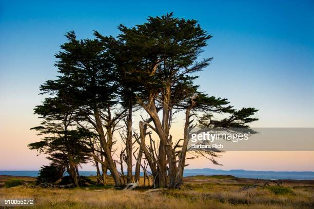 cluster of cypress trees on cliff overlooking pacific ocean at ft. bragg - cypress tree stock pictures, royalty-free photos & images
