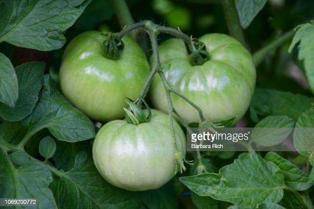 Cluster of green tomatoes hang from vine in the garden