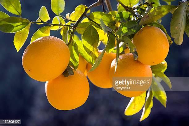 cluster of meyer lemons on citrus fruit tree branch, backlit - terryfic3d bildbanksfoton och bilder