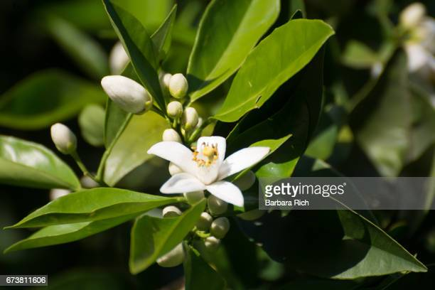 cluster of orange citrus blossoms in the morning light - orange blossom stock photos and pictures