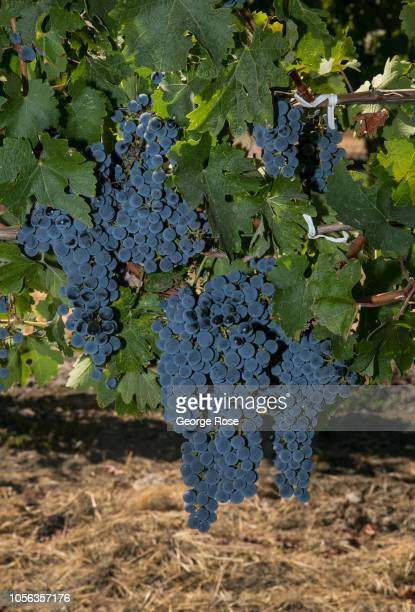 A cluster of ripe Dry Creek Valley cabernet sauvignon is viewed on September 21 near Healdburg California A cool spring and mild summer have...