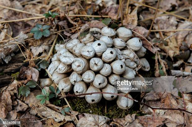 cluster of small puffballs after rupturing and expelling spores - by sheldon levis stock pictures, royalty-free photos & images