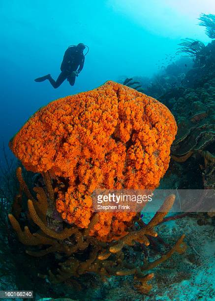 cluster of sponges, a type of marine invertebrate - ボネール島 ストックフォトと画像