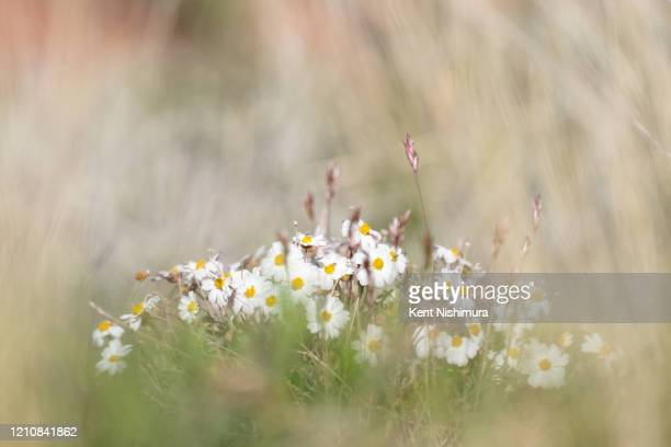 A cluster of the common Yarrow flower is seen along the Adobe Jack Trail on Wednesday April 22 2020 in Sedona AZ In early April in an attempt to slow...