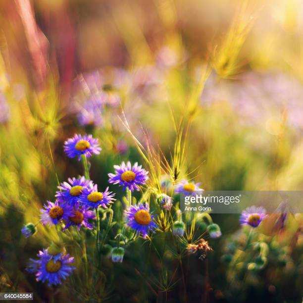 Cluster of wildflowers (purple aster) sunlit in meadow, closeup with vintage toning