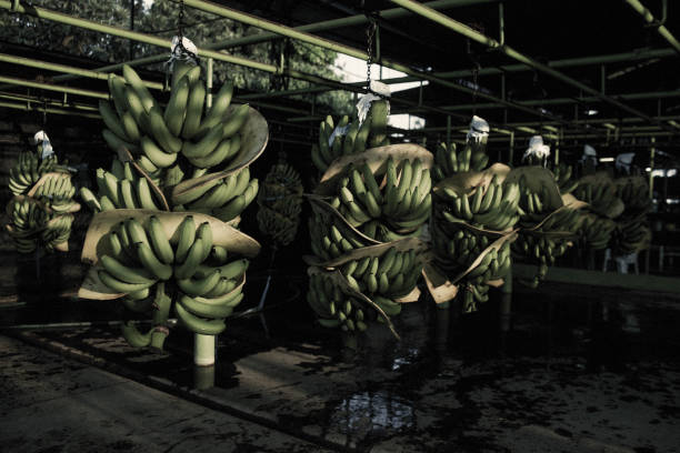 MEX: A Banana Harvest As Mexico Begins Exporting The Fruit To China