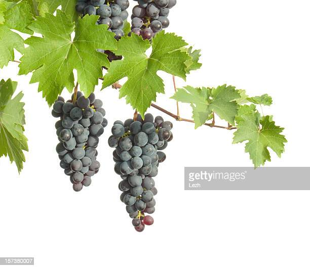 Clusters of grapes hanging from branches