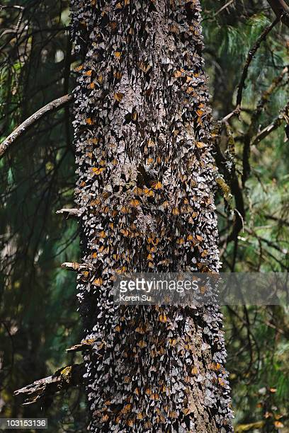 Clusters of Monarch butterflies on the pine tree