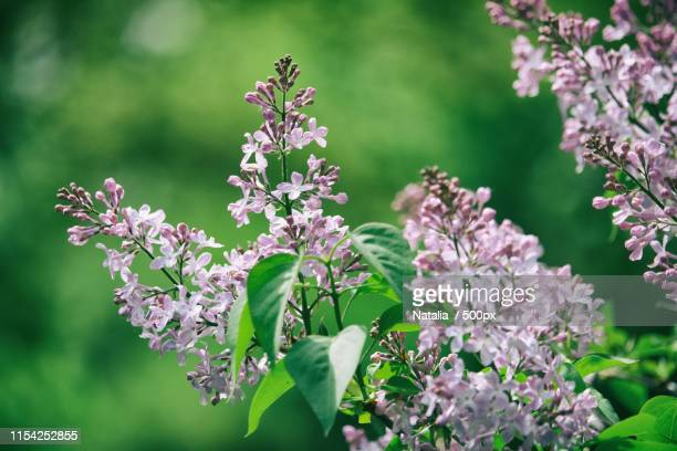 clusters of purple lilac blossom with blurred green background - purple lilac stock pictures, royalty-free photos & images