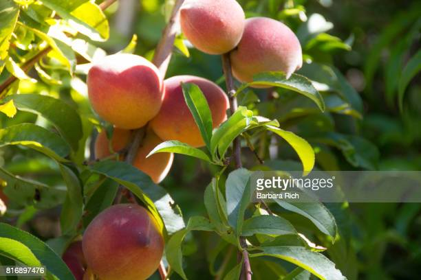 Clusters of ripe peaches ready for harvest