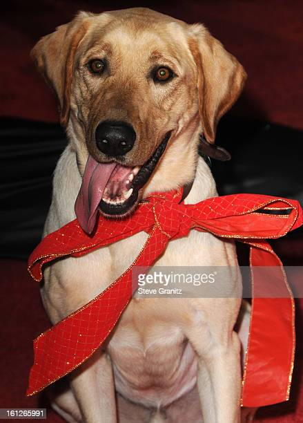 Clyde the dog arrives at the Los Angeles premiere of 'Marley Me' on December 11 2008 in Los Angeles California