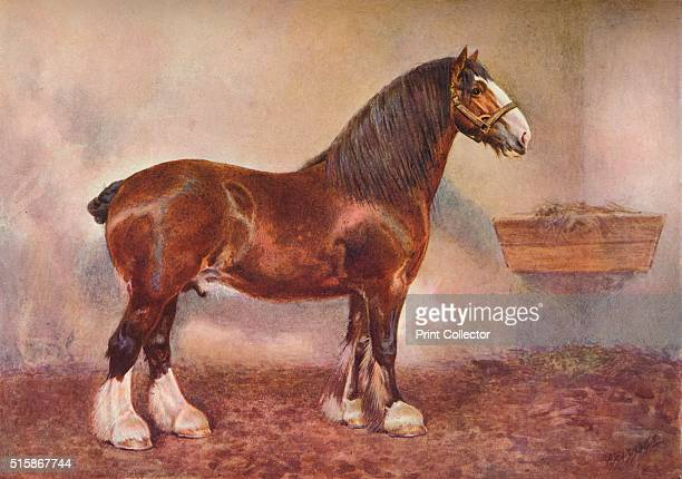 Clydedale stallion Prince of Albion circa 1900 Prince of Albion was owned by John Gilmour From Live Stock in Health and Disease edited by Professor J...