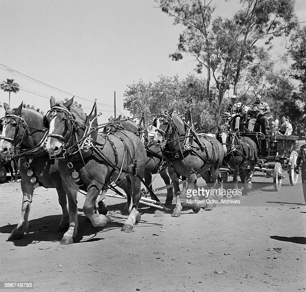 Clydesdale draft horses pull a fire wagon as they enter the 1958 Rose Parade in Pasadena California