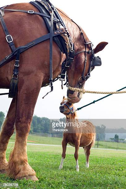 Clydesdale horse and Shetland pony