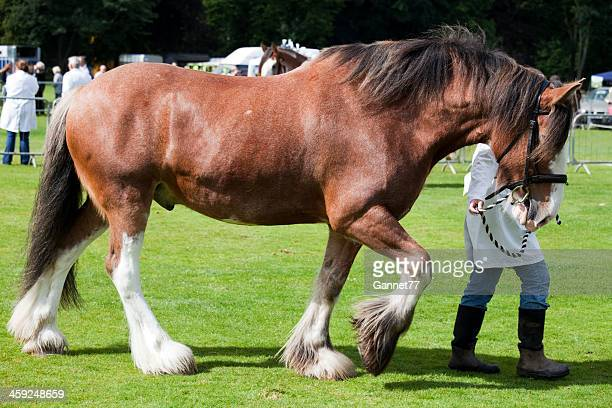 Clydesdale Horse being led out to show