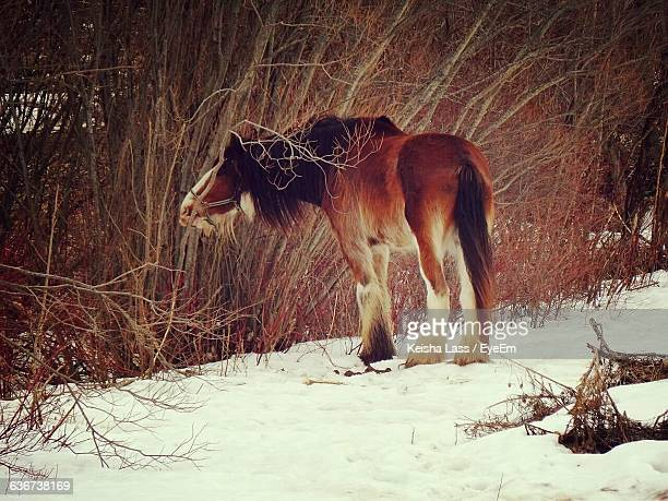 Clydesdale Horse By Plants On Snow Covered Field