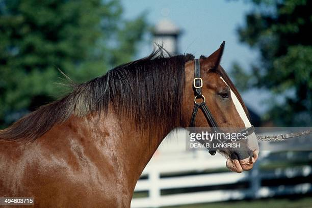 Clydesdale horse Equidae