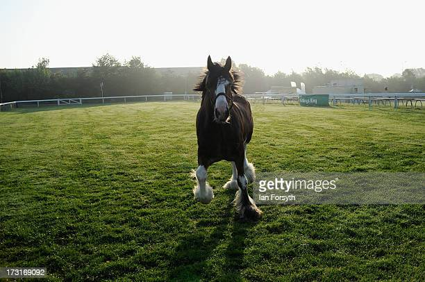Clydesdale horse exercises on a dew covered paddock at the Great Yorkshire Show on July 9 2013 in Harrogate England The Great Yorkshire Show is the...