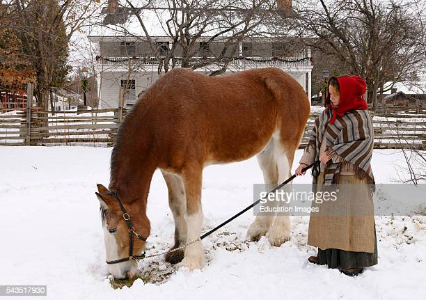 Clydesdale horse grazing on grass under the snow in the winter in a Pioneer Village